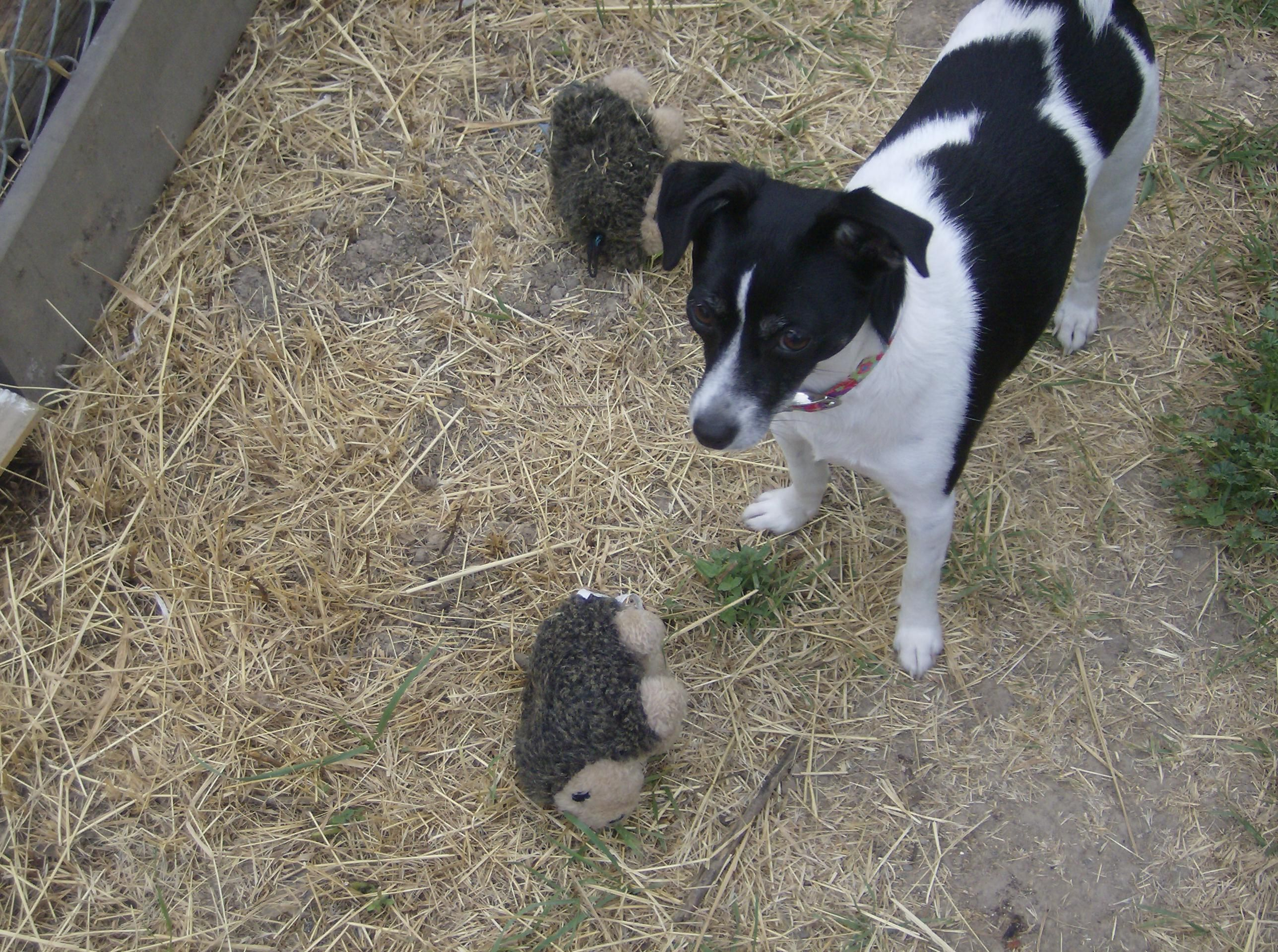 My Rat Terrier, Frances 'Lucy' Lucille with her stuffed hedgehog collection, she never leaves the house without one. :)