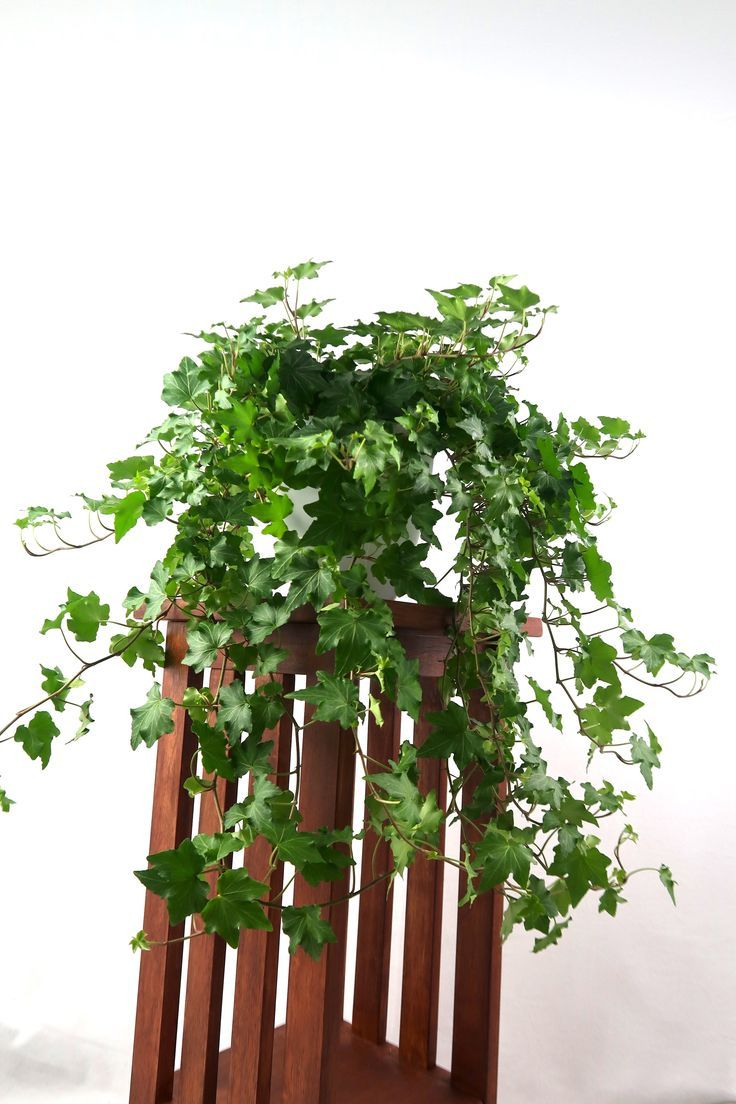 Large English Ivy Live Air Purifying Plant in 3D Printed