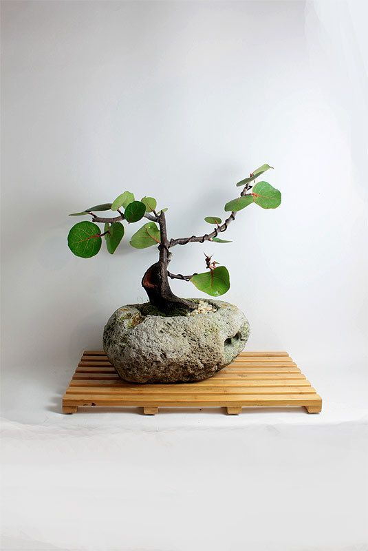 Seagrape Bonsai Tree Winter Fruiting Collection By Livebonsai Tree