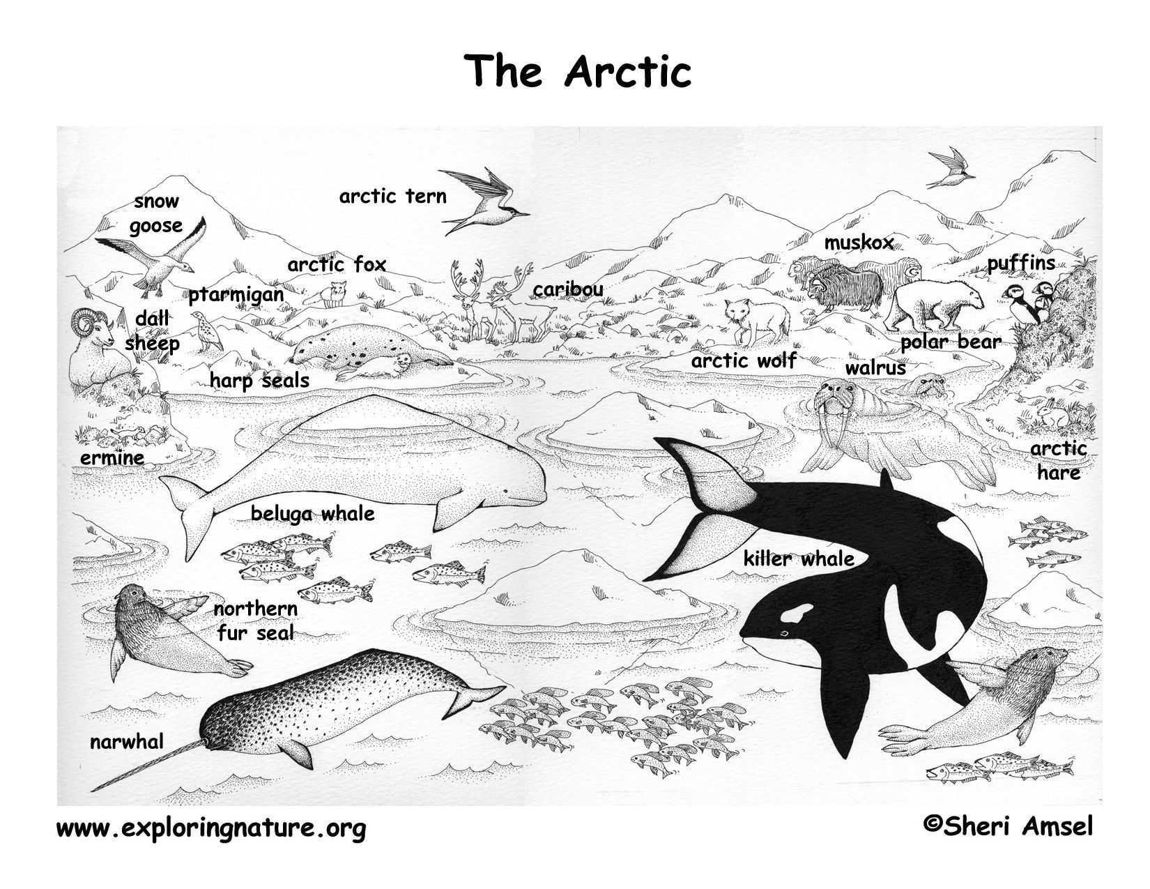 Best Arctic Tundra Coloring Sheets Page Of Animal Popular And In