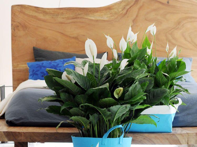 Le Spathiphyllum Pour La Chambre