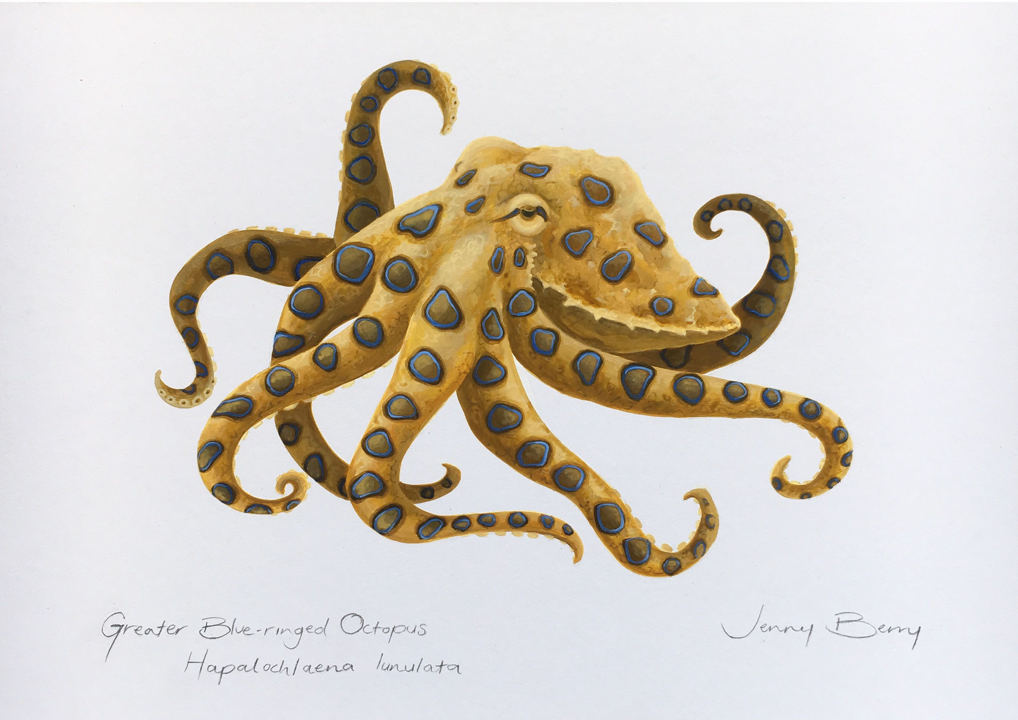 Blue Ringed Octopus Scientific Illustration By Jenny Berry Paintings For Sale Bluethumb Octopus Art Print Scientific Illustration Octopus Illustration