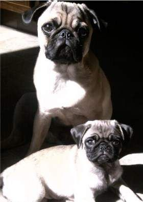 Pug Age Growth Chart Puppy And Adult Pugs Dog Ages Adult Pug