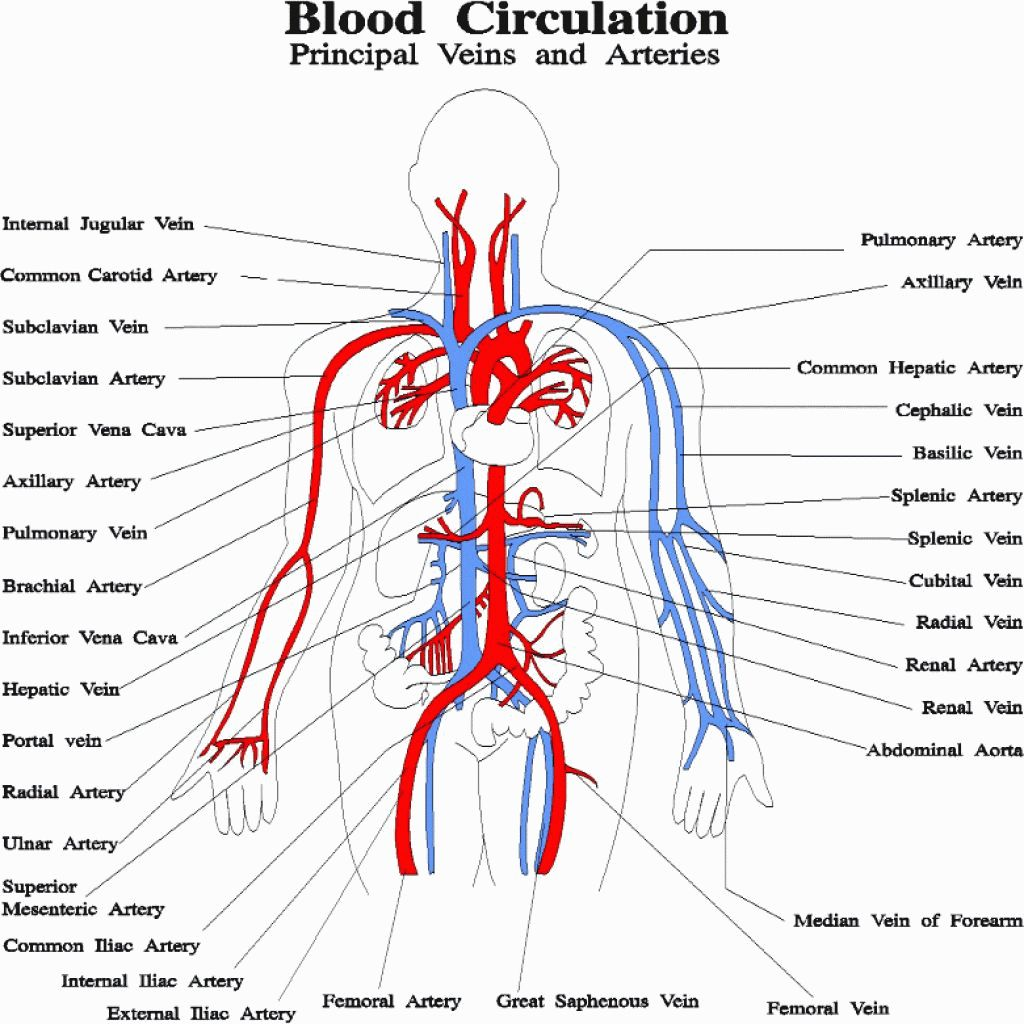 Photos Circulatory System Netter Human Dermatologist