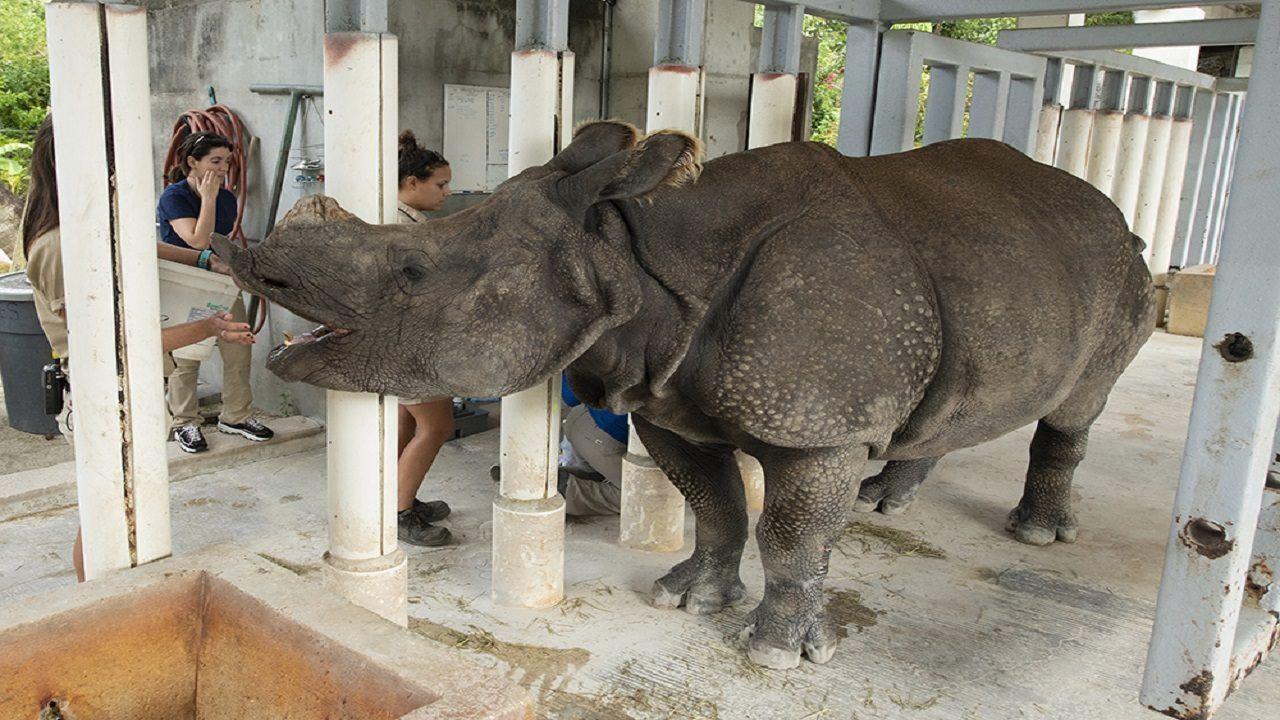 Endangered Indian rhino pregnant at Zoo Miamihttps//https