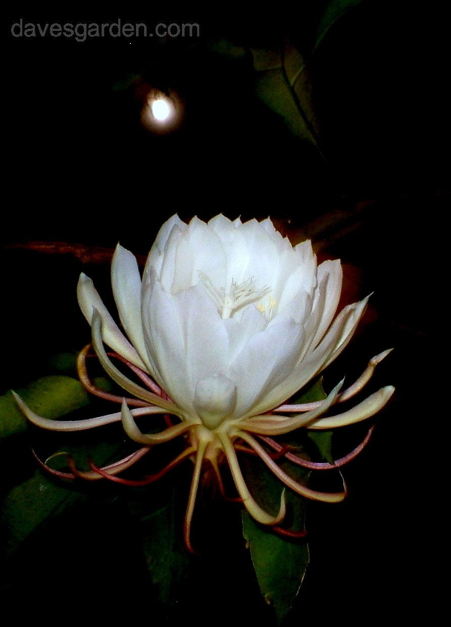 With The Moon In The Background As If To Prove That It Blooms At