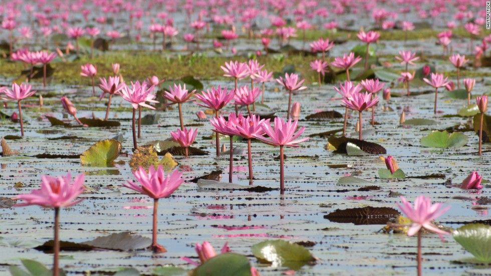 A paisagem colorida pelos lírios d'água encantam! O cenário do lago Nong Han, na Tailândia, é de uma beleza incomum e bastante atraente. O lago de água doce tem área de 123 quilômetros quadrados e, entre os meses de outubro e março, torna-se um jardim flutuante repleto de lírios rosas e vermelhos.