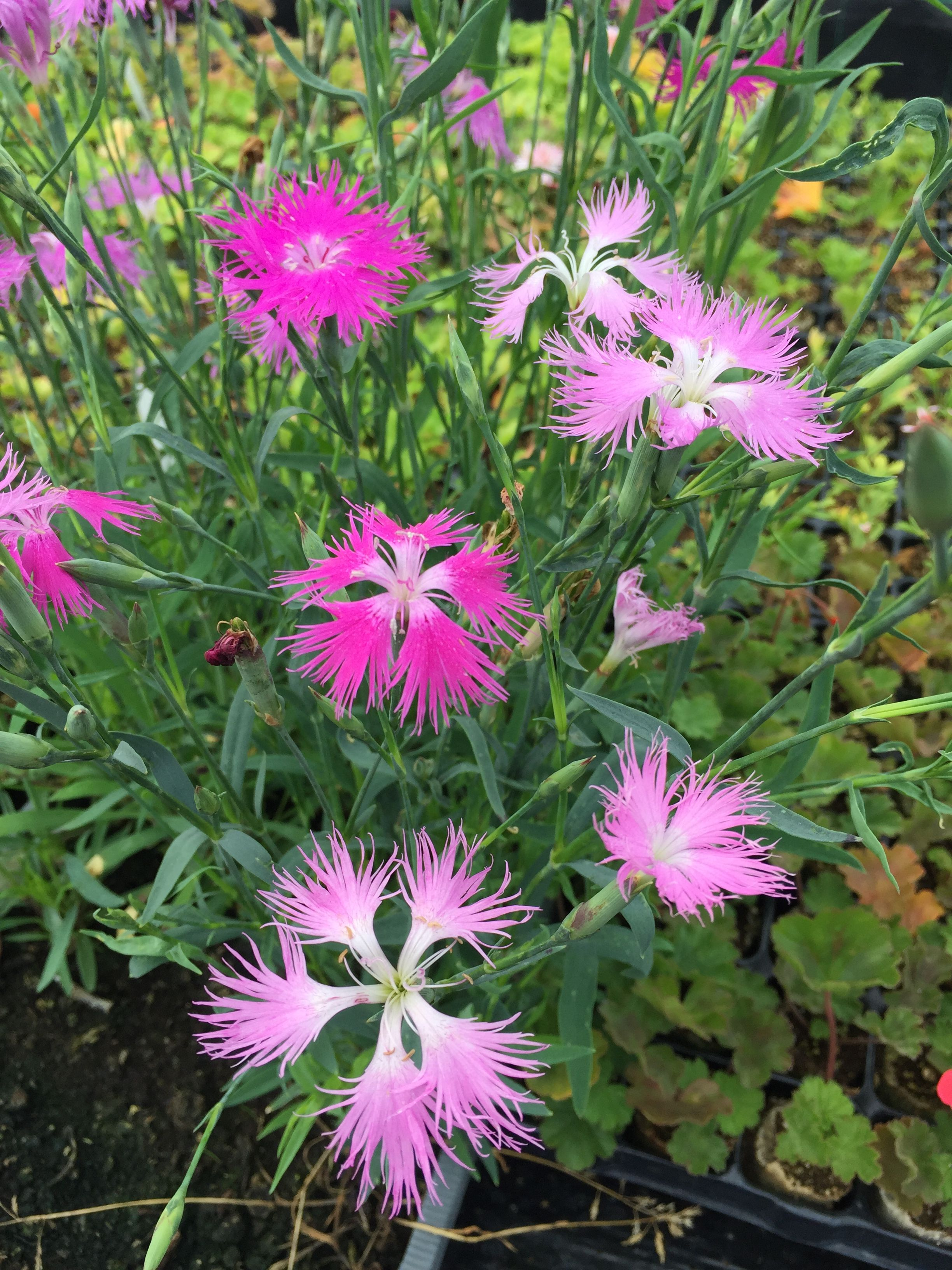 Dianthus Superbus Has A Lovely Feathery Flower That Are Highly