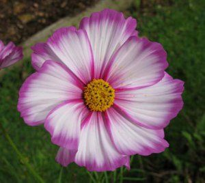 Mexican Aster Cosmos bipinnatus 'Candy Stripe' - 100 Seeds