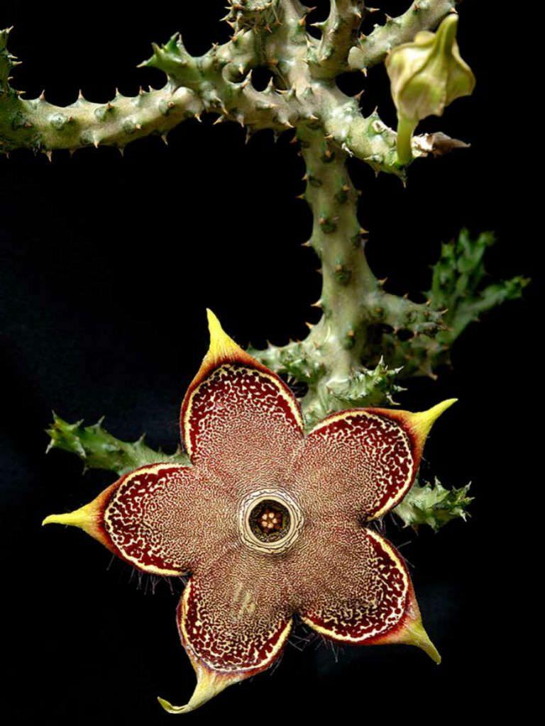 Edithcolea Grandis Persian Carpet Flower World Of Succulents Persian Carpet Succulents Flowers