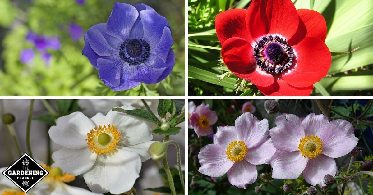How To Grow Anemone Flowers Gardening Channel Flowers Name List Anemone Flower Flower Names