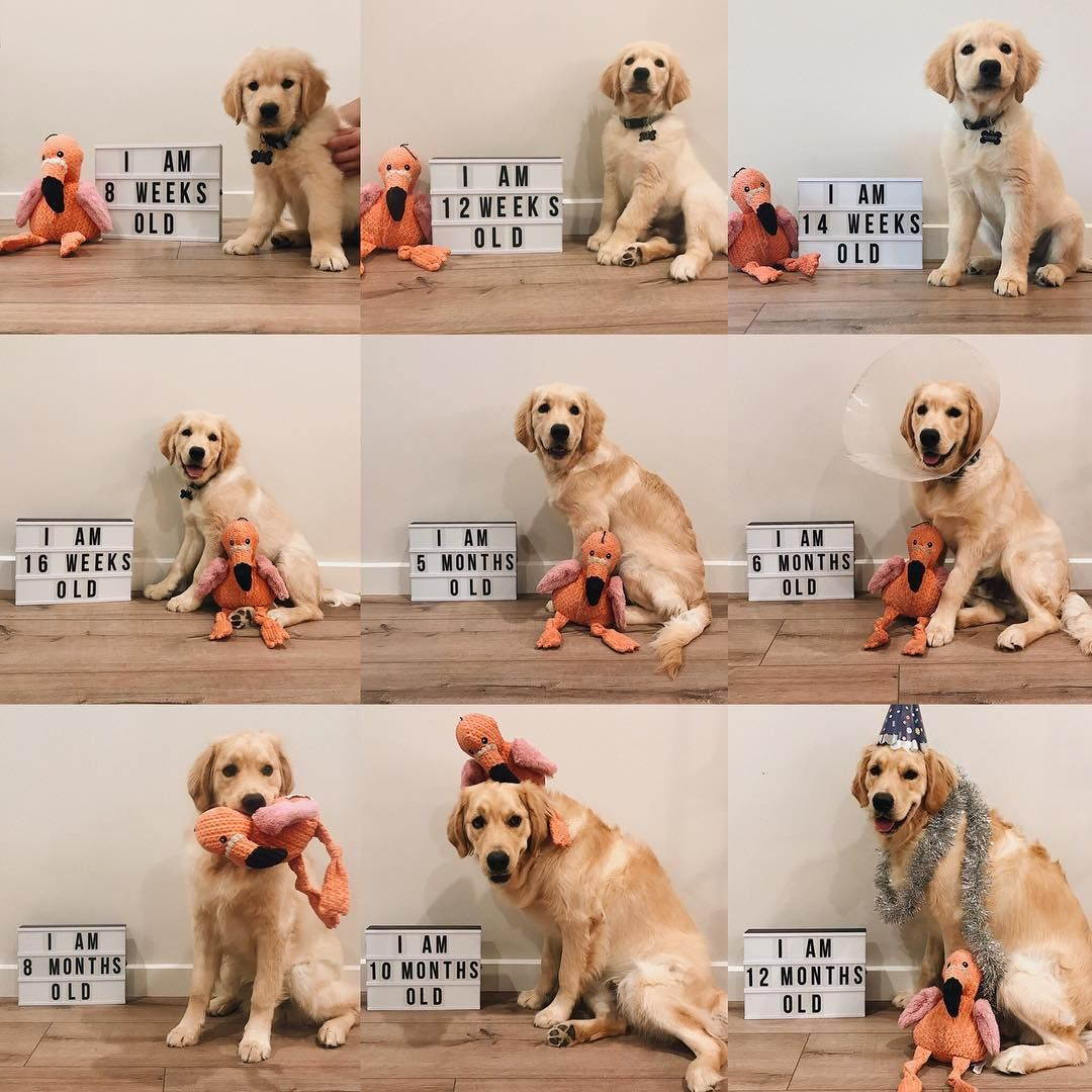 Paxton The Golden On Instagram Transformationtuesday Summing Up My 1st Year Golden Retriever Funny Cute Puppies Pet Parent