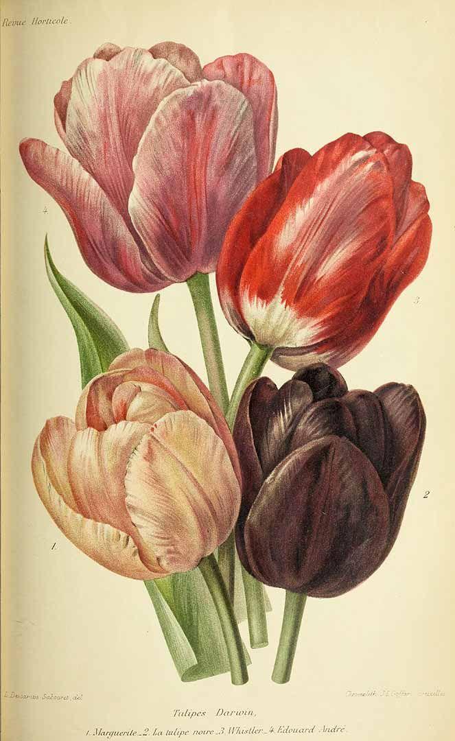 317680 Tulipa hort.  / Revue horticole, vol. 70:  (1898)