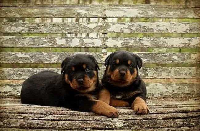 Rottweiler Puppies Rottweiler Puppies For Sale Rottweiler Dog Rottweiler Puppies