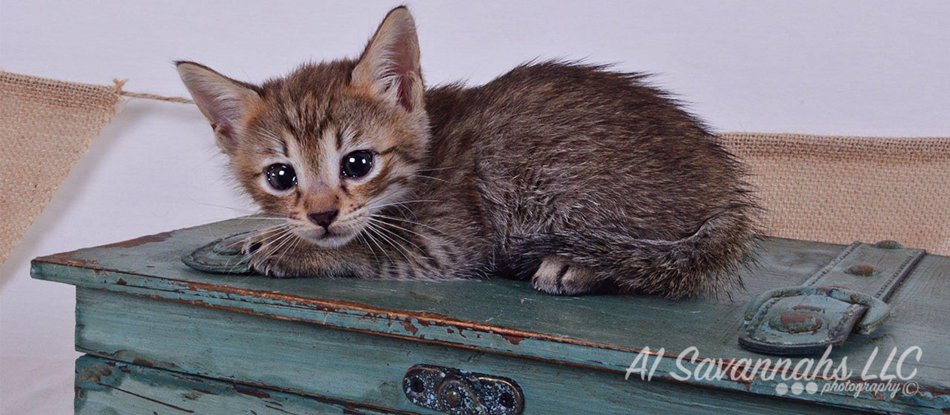 Falyn F4 Savannah Kitten Savannah Kitten Kittens Cats Kittens