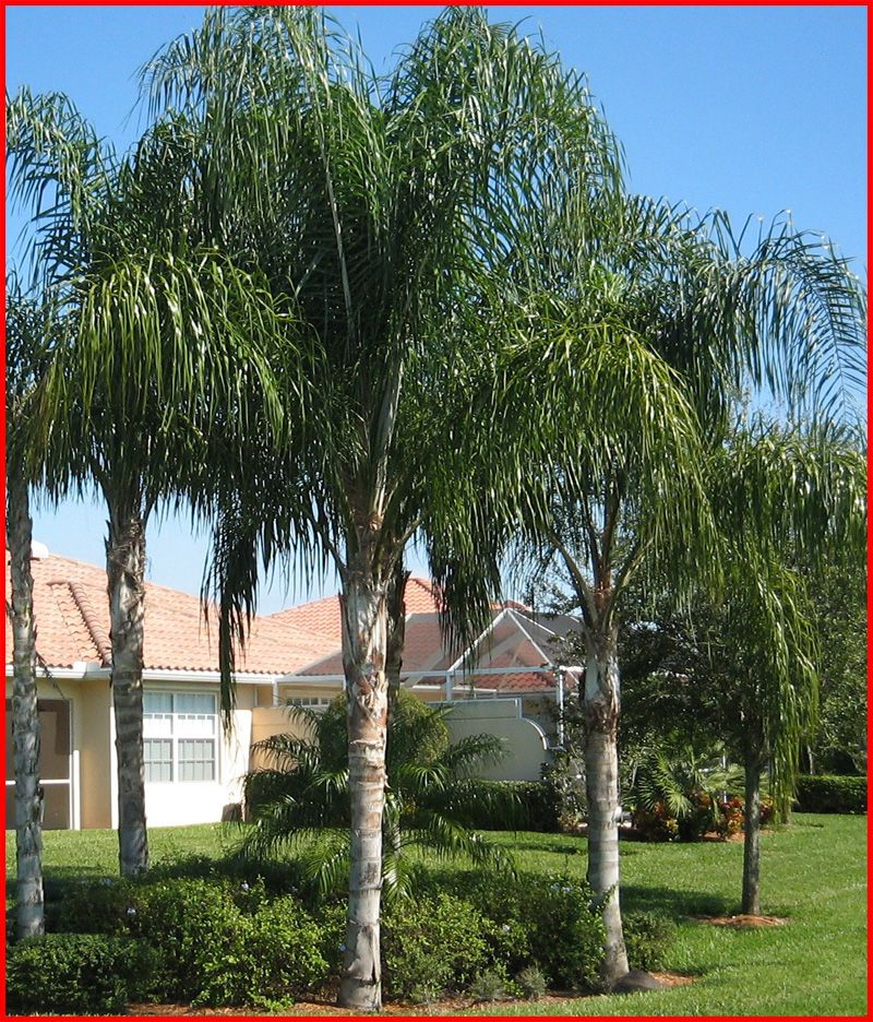 queen palm Google Search Landscaping plants