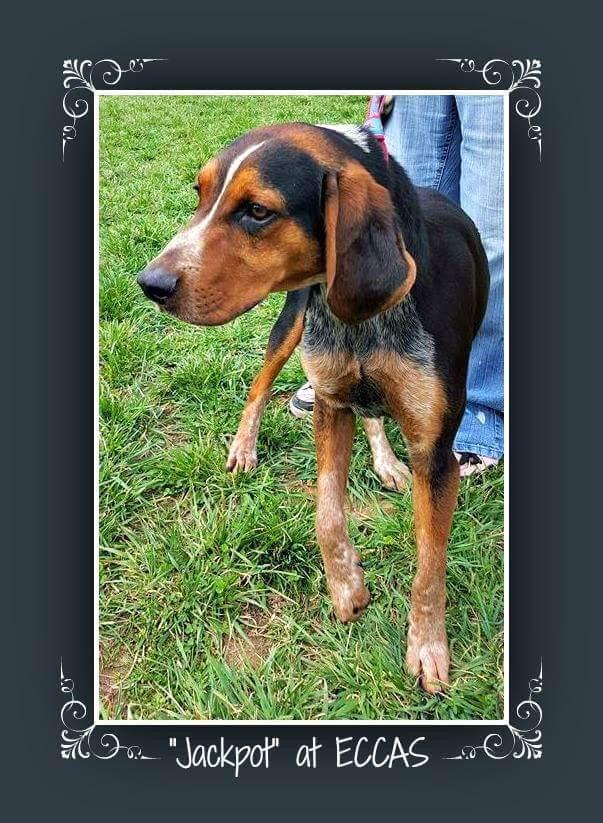 Elizabethton Tn 1 Year Old 45 Lbs M Bluetick Beagle Mix Named Jackpot Beagle Mix 1 Year Olds Elizabethton