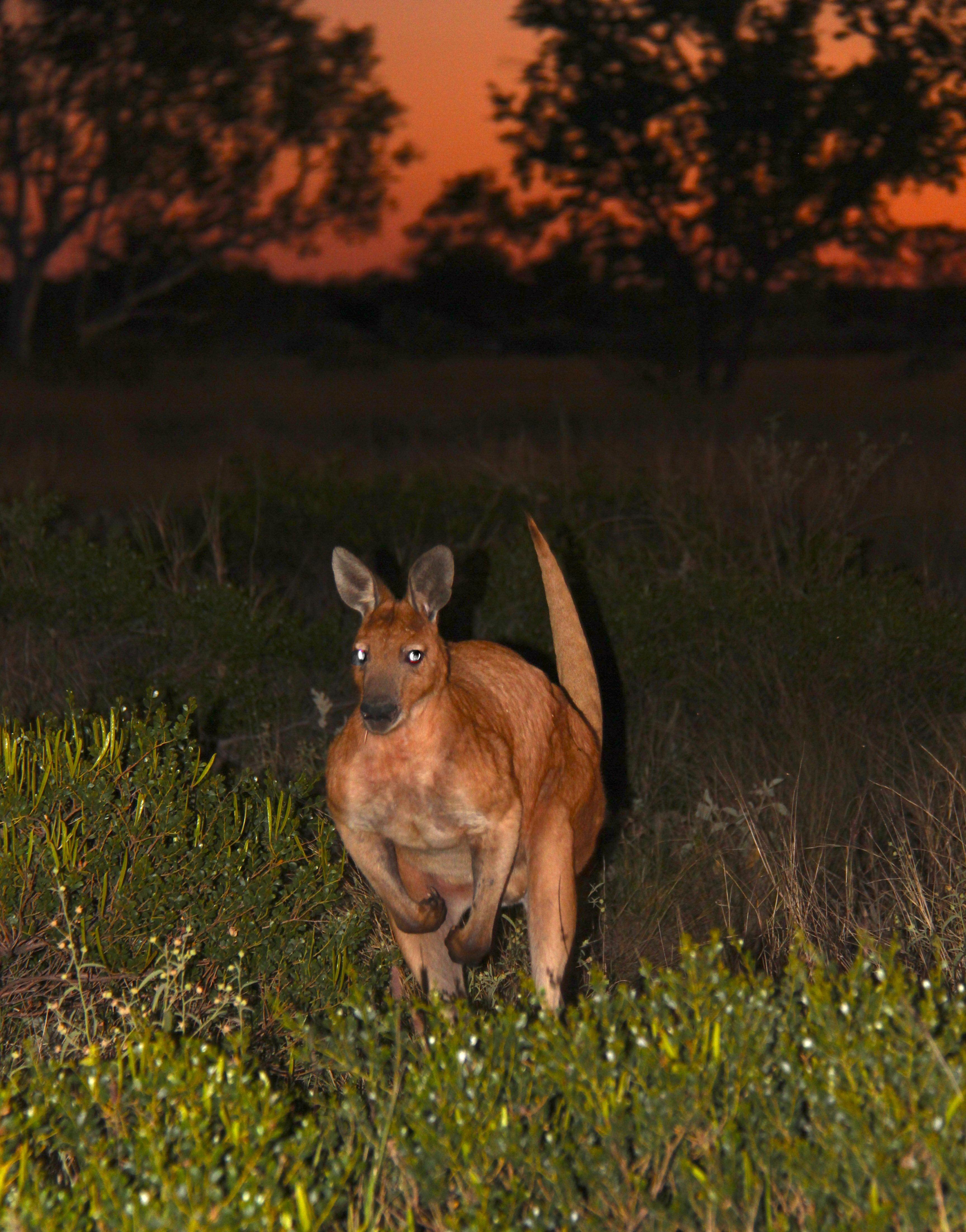 Red Roo,  Northern Australia Pardoo Station