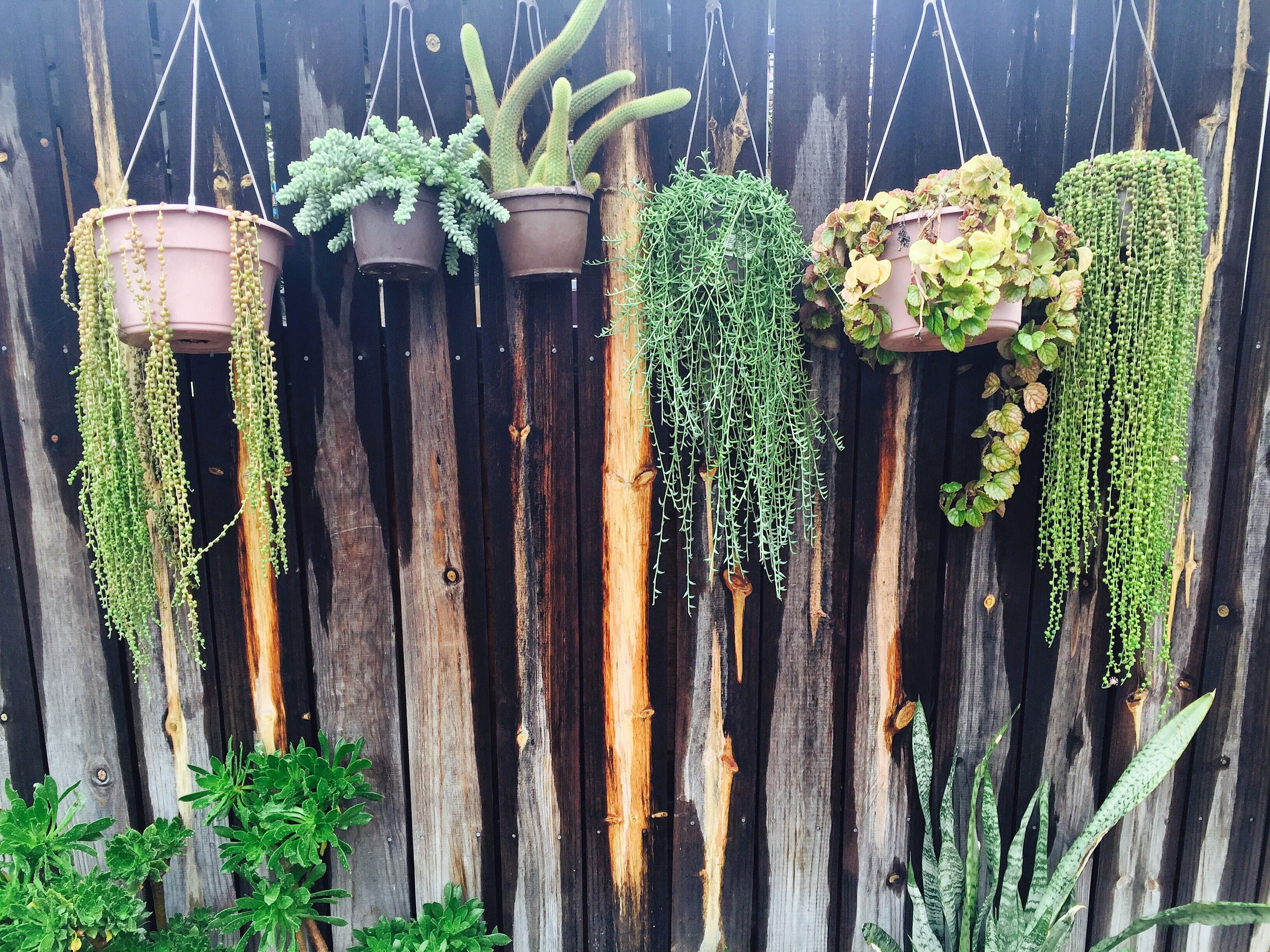 String of banana plant care - String Of Pearls Donkey Tail String Of Bananas Cactus My Garden