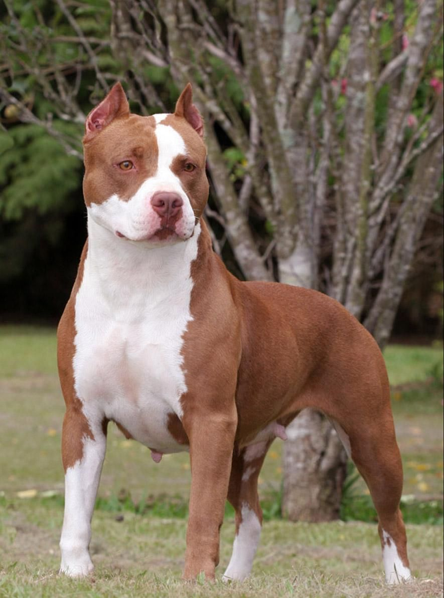 Pitbull البيتبول أشرس كلب علي الاطلاق With Images
