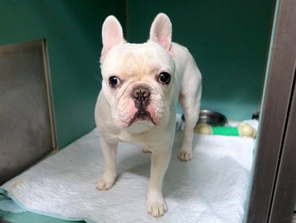 Manhattan Center Jack A1026273 Doh Hold 1 25 15 Male White French Bulldog 1 Yr 8 Mos Owner Sur Onholdhere Pet Adoption Dog Adoption Animals