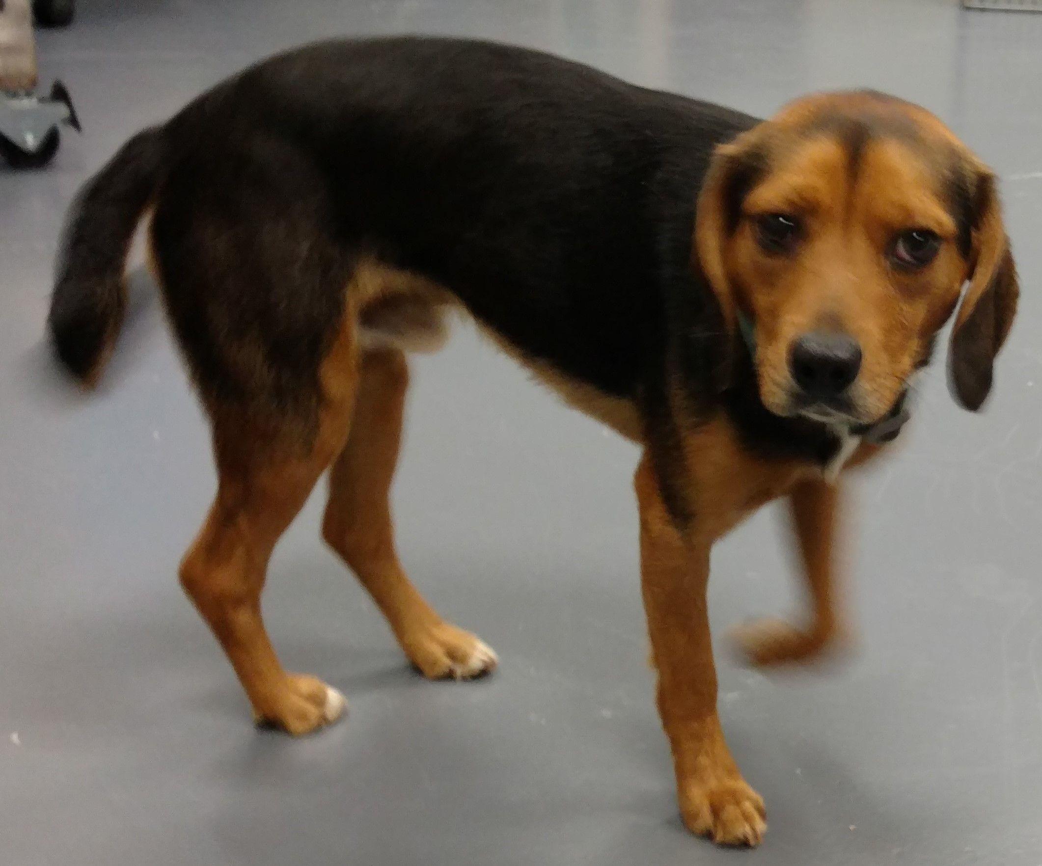 Beagle dog for Adoption in Dahlgren, VA. ADN542506 on