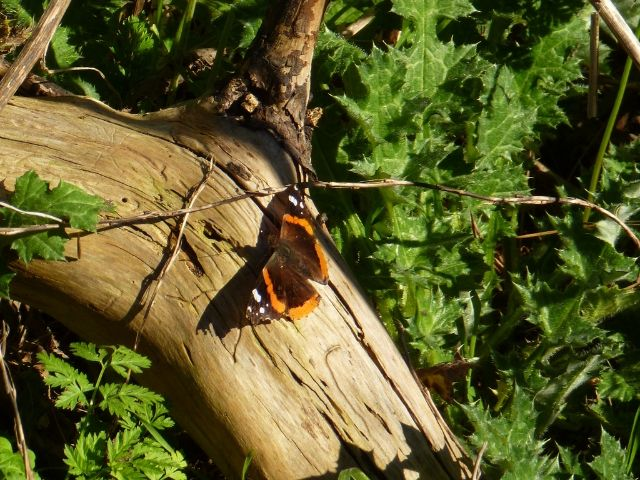 Help Build Habitat for San Francisco Butterflies: Friends of Strawberry Hill Opportunity - VolunteerMatch