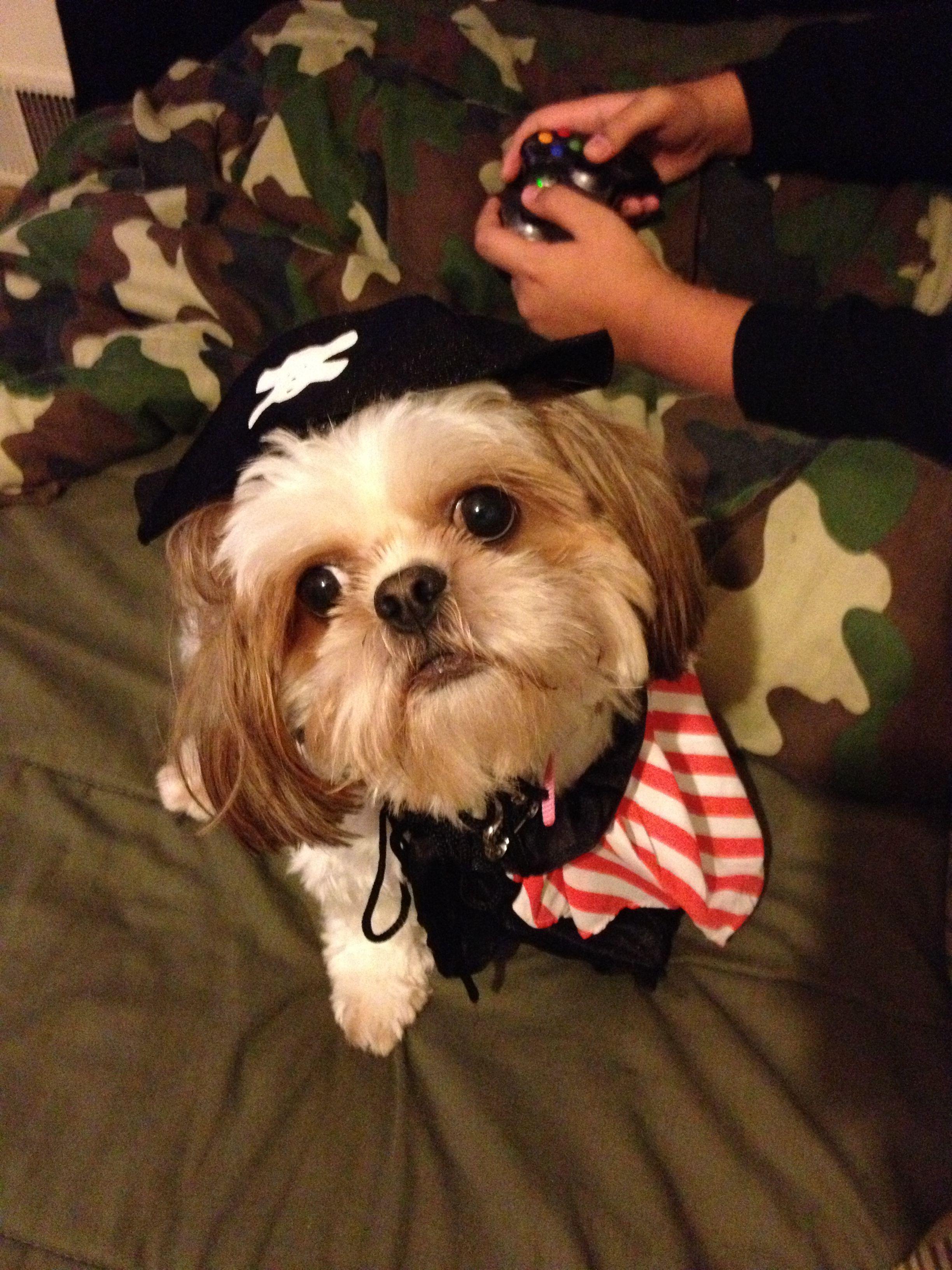 Shih Tzu Pirate Shih Tzu Doggy Dogs