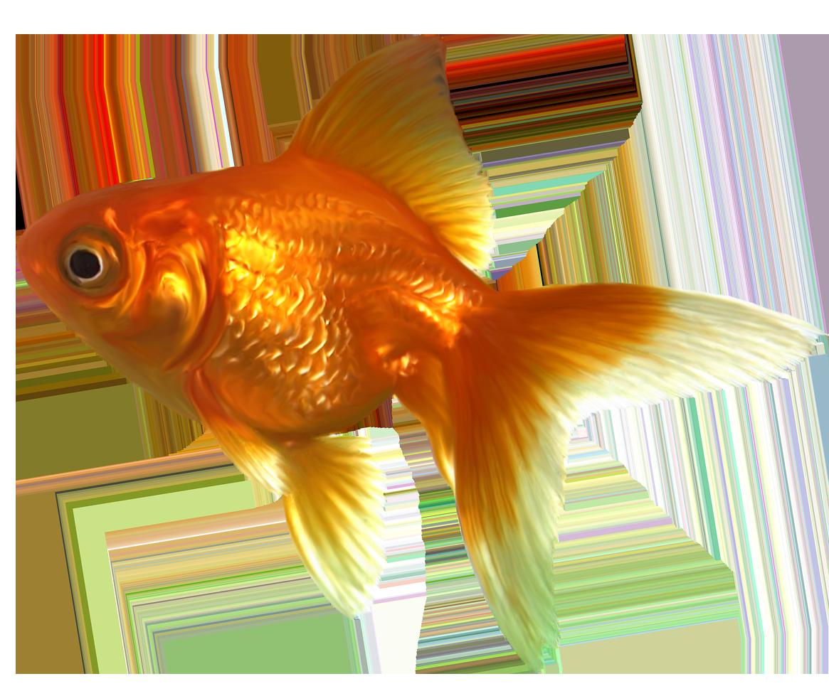 Goldfish Png Poisk V Google Goldfish Png Stickers