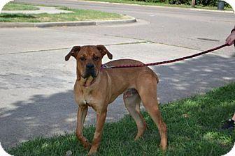 Akron Oh Cane Corso Rottweiler Mix Meet Brutus A Dog For
