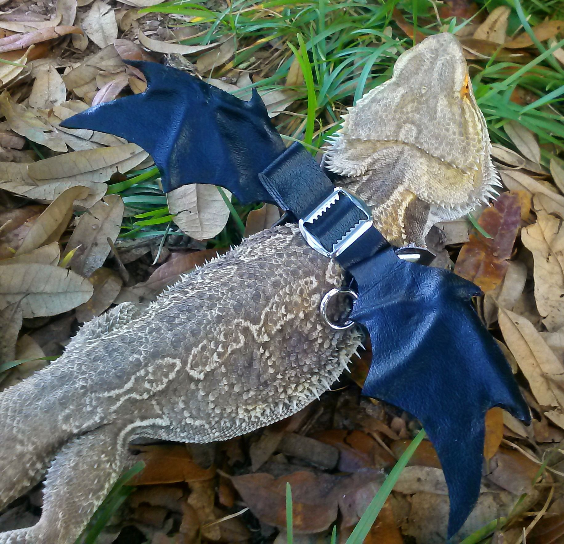 Zeuss New Custom Made Winged Harness Were Going To The Petco Reptile Contest