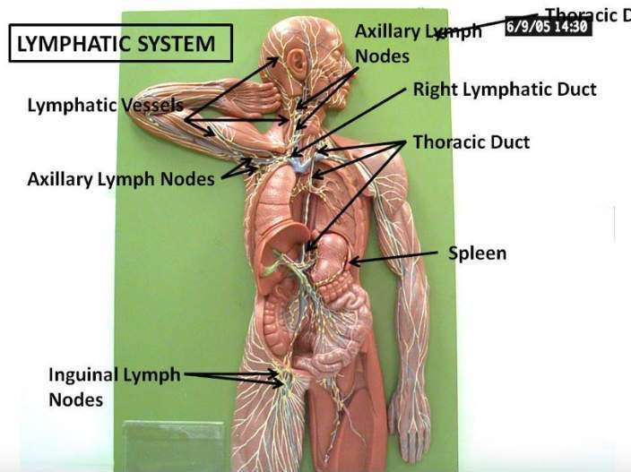 The Lymphatic System Or Lymph System As It Is Also Called Is A