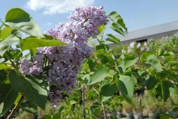 Lilac, we all love their beautiful blooms and romatic fragrance.