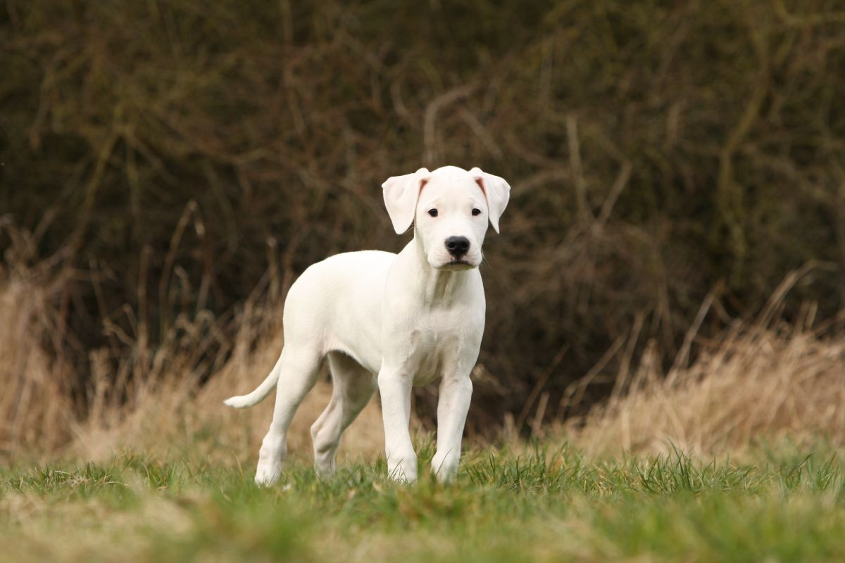 The Dogo Argentino Emerged From The Ashes Of A Native Fighting Dog To Become A World Class Hunter Of Big Game Modern Molosser Molosser Dogo Argentino Dogs
