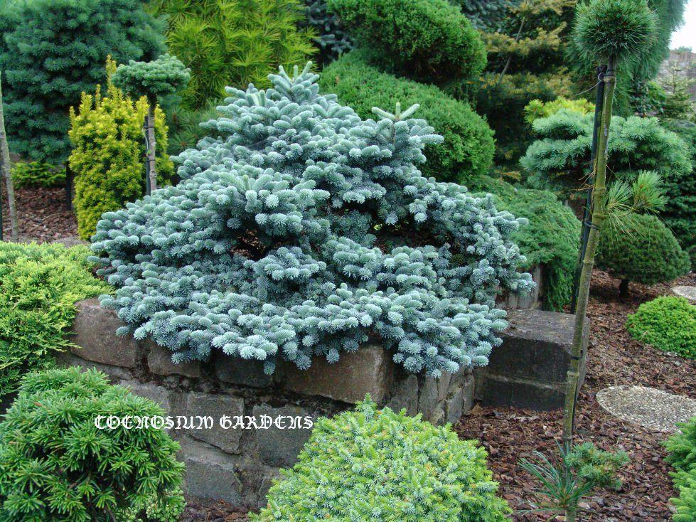 Abies Procera Blaue Hexe Conifers Evergreen Garden Garden