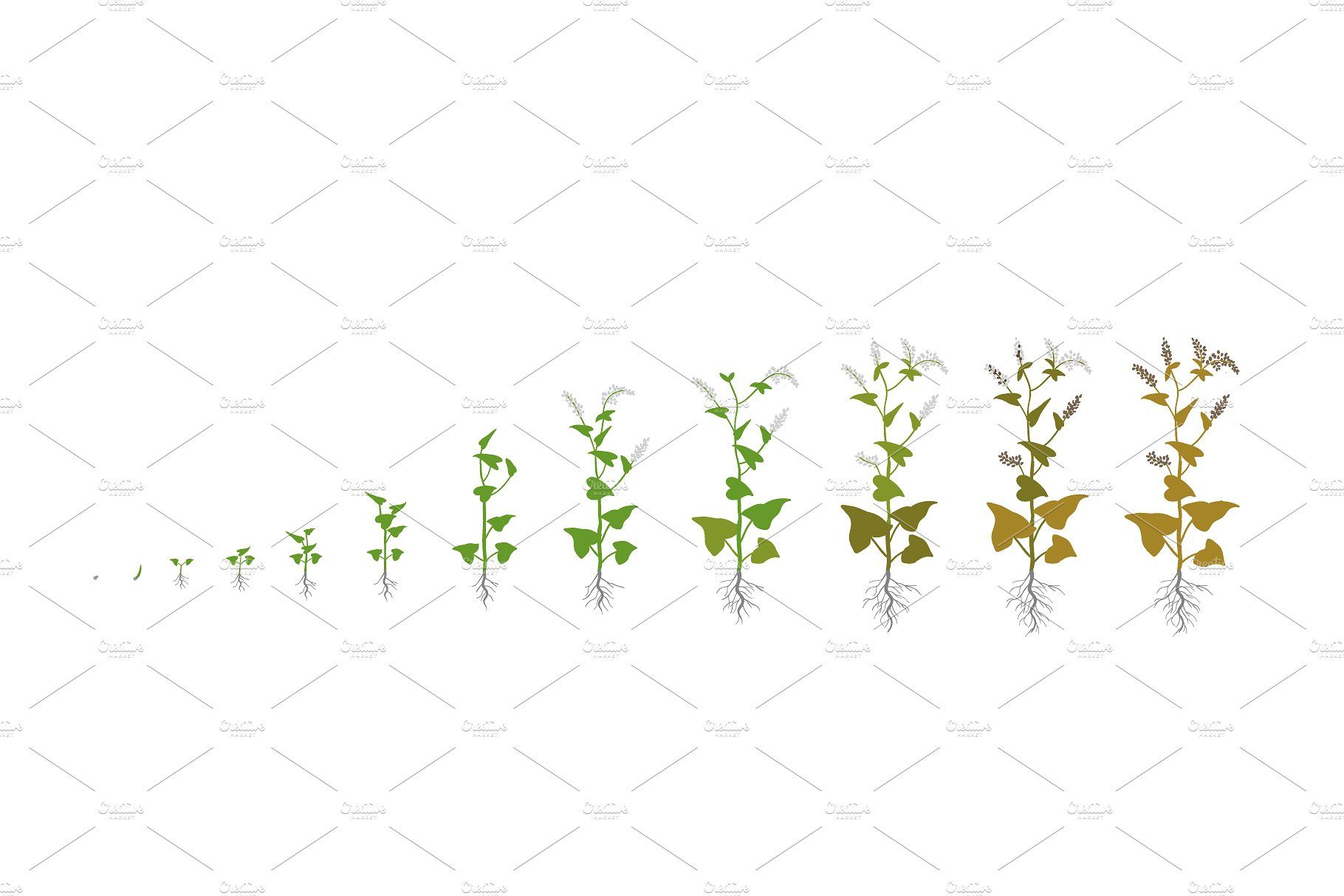 Vegetable Crop Growth Stages Planting Sunflowers Growing Plants Wheat Grass