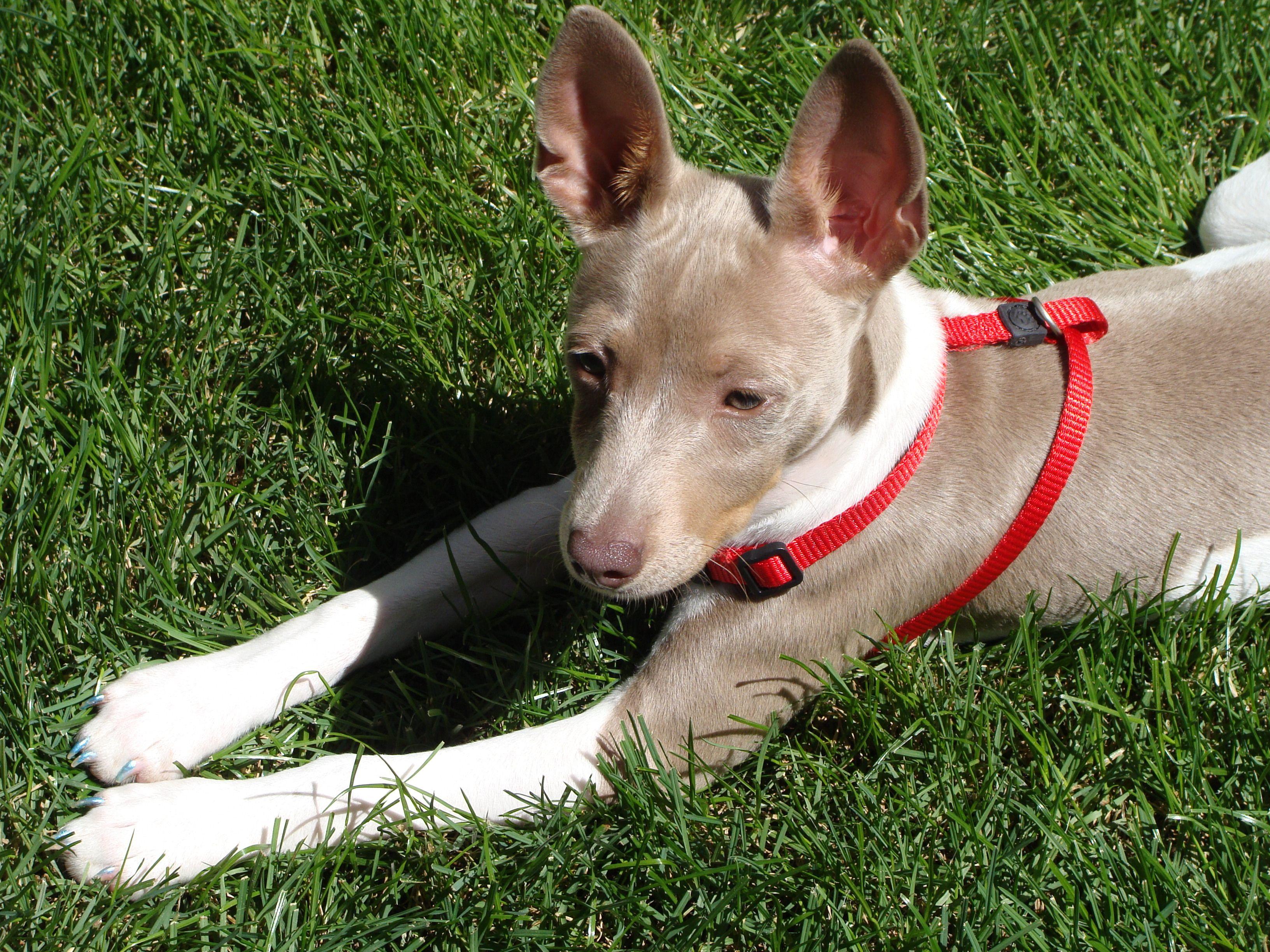 Pearl Rat Terrier Rat Terriers Cute Dogs