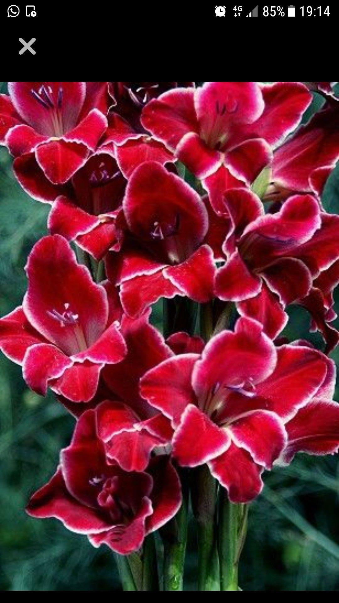 Pin By 이병철 On Layơn Beautiful Flowers Gladiolus Flower Amazing Flowers