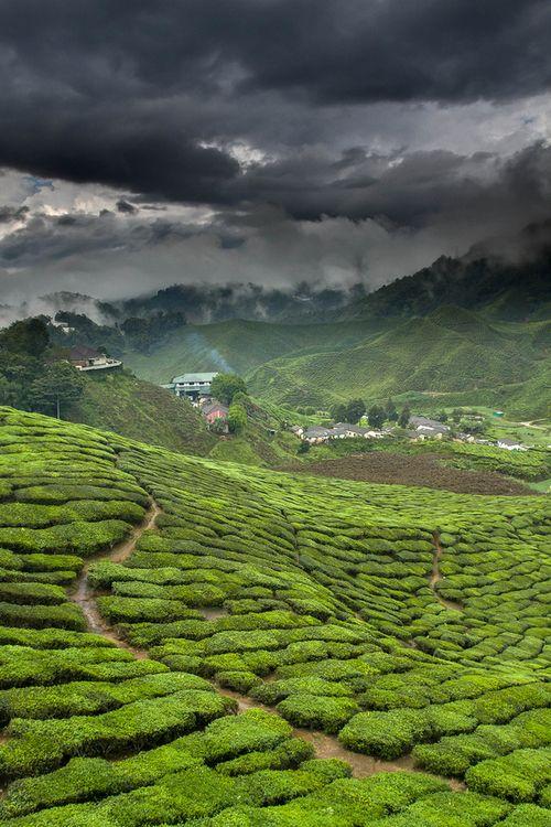 Green Tea factory - Cameron Highlands, Malaysia
