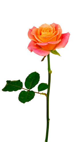 Red Rose Png Clip Art Image Red Rose Png Rose Flower Png Beautiful Rose Flowers