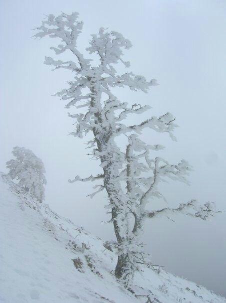 Quejigo nevado en las cumbres de la Sierra de las Nieves