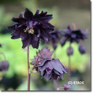 Staudenfoto Zu Aquilegia Vulgaris Black Barlow Kurzspornige Garten Akelei Pflanzen Akelei Tom Garten