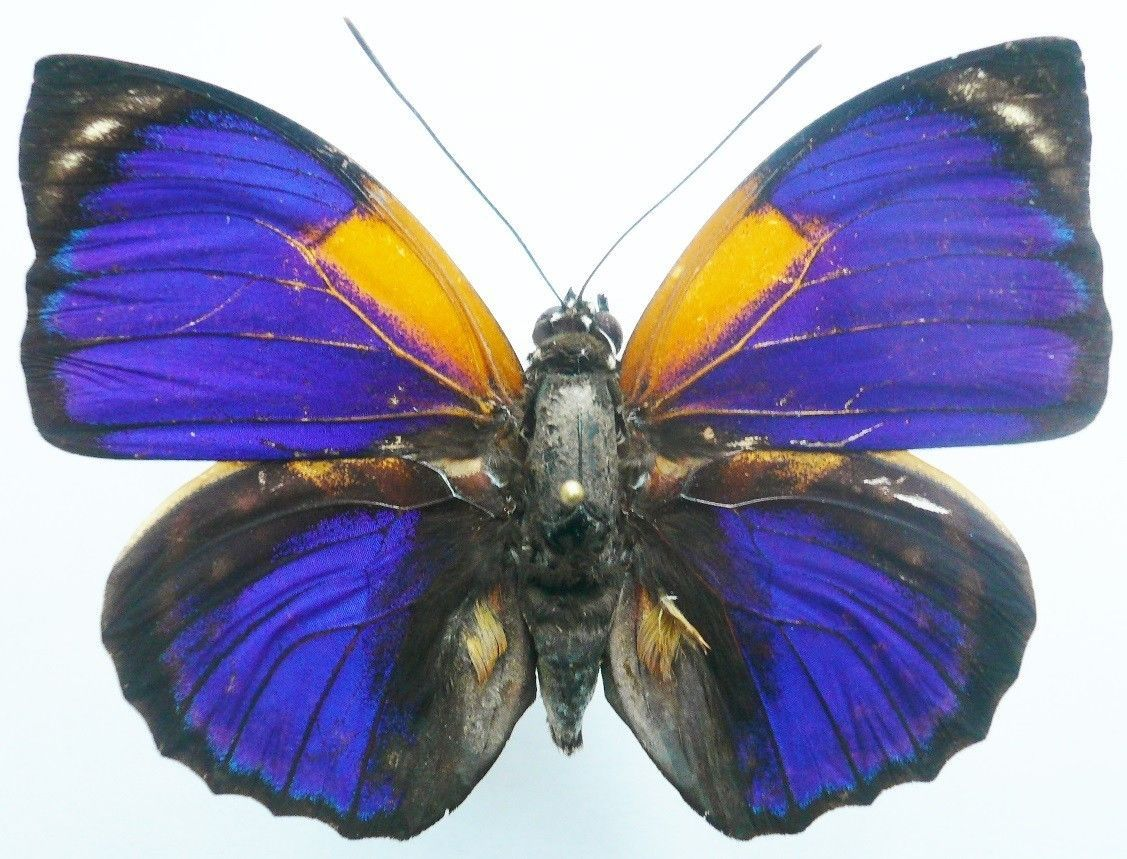 agrias butterfly phalcidon fournierae form aristoteles from