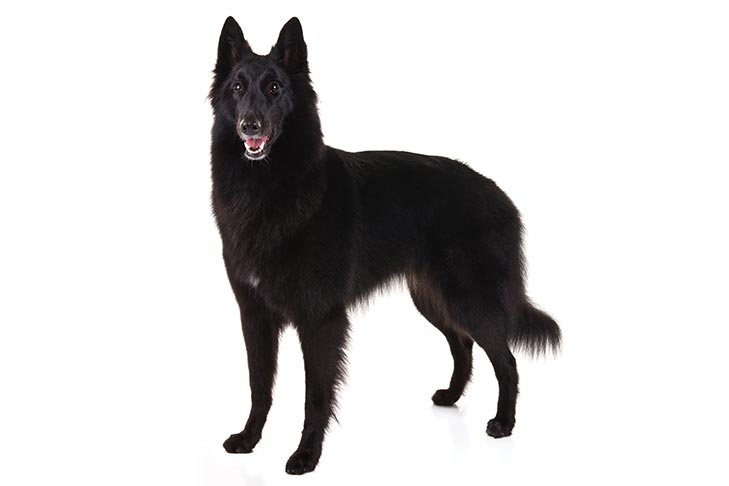 Pin By Alicia Demarco On Animals Live Akc Dog Breeds Belgian Sheepdog Dog Breeds