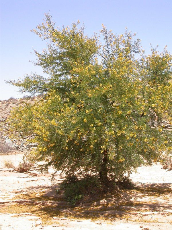 Acacia Karroo Sweet Thorn Non Native Evergreen Tree Widespread In Africa Thorns Bright Yellow Ball Shaped How To Attract Birds Xeriscape Evergreen Trees