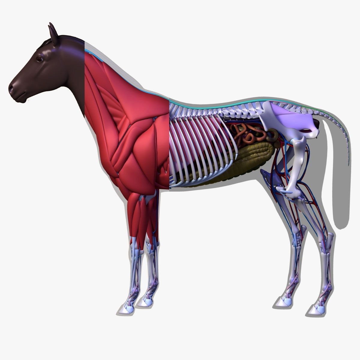 3d Model Horse Anatomy Thesis Project Ref Horse Anatomy