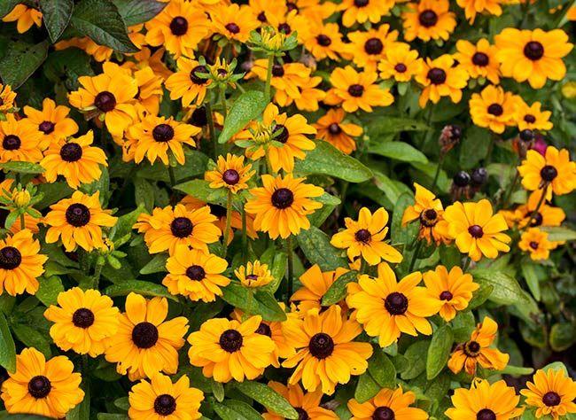 quelles vivaces choisir pour les massifs d 39 t fleurs vivaces pinterest plante vivace. Black Bedroom Furniture Sets. Home Design Ideas