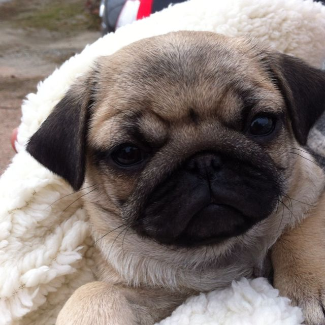 Baby Pug From Summerland Bc Baby Pugs Pugs And Kisses Pugs