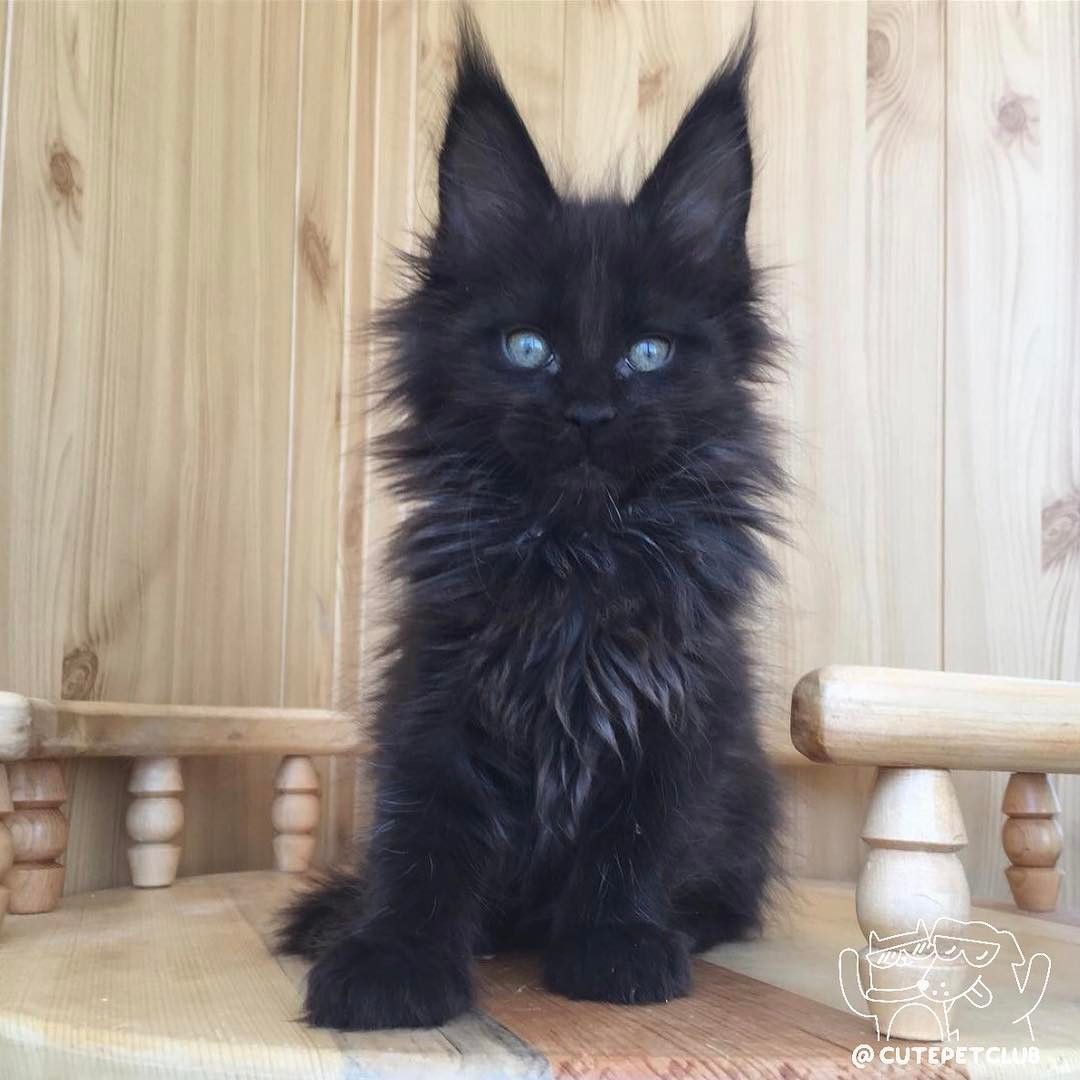 What a beautiful black kitty with really impressive long ears! #BlackCat #catbreeds