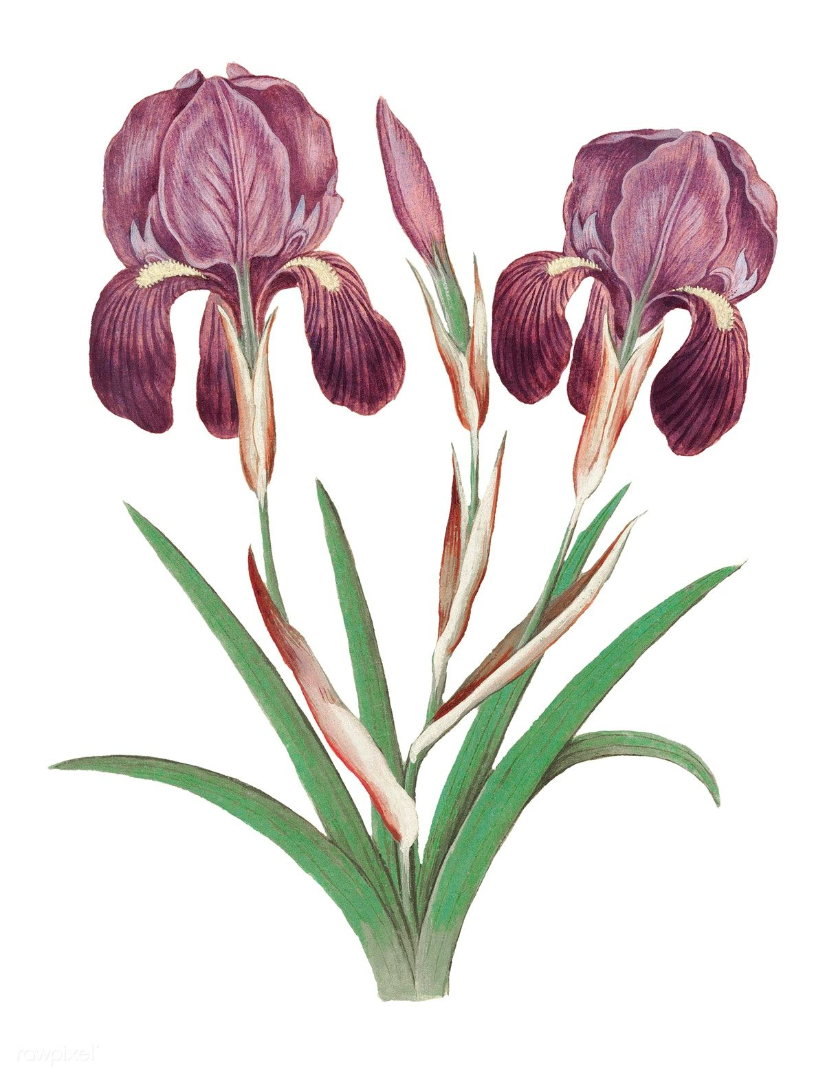 Download Premium Png Of Vintage Purple Iris Flower Illustration 562037 Iris Flowers Peony Illustration Flower Illustration